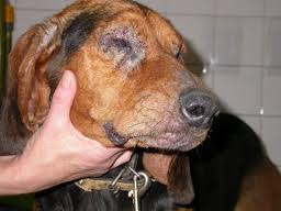 aabem-clinica-veterinaria-leishmaniasis-4-0e840